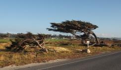 Szél formálta fák, sajnos csak autóból lekapva